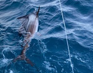 how to catch a sailfish